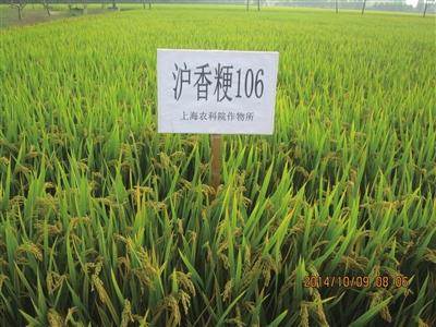 """为优质稻米产业化育好""""上海种"""""""