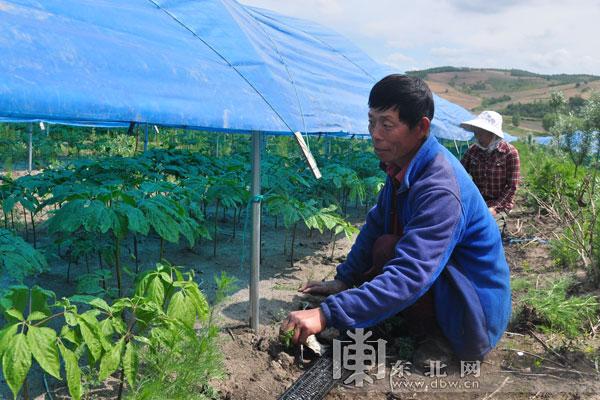 黑龙江省林口县重点推进中药材产业 种植面积达20.5万亩