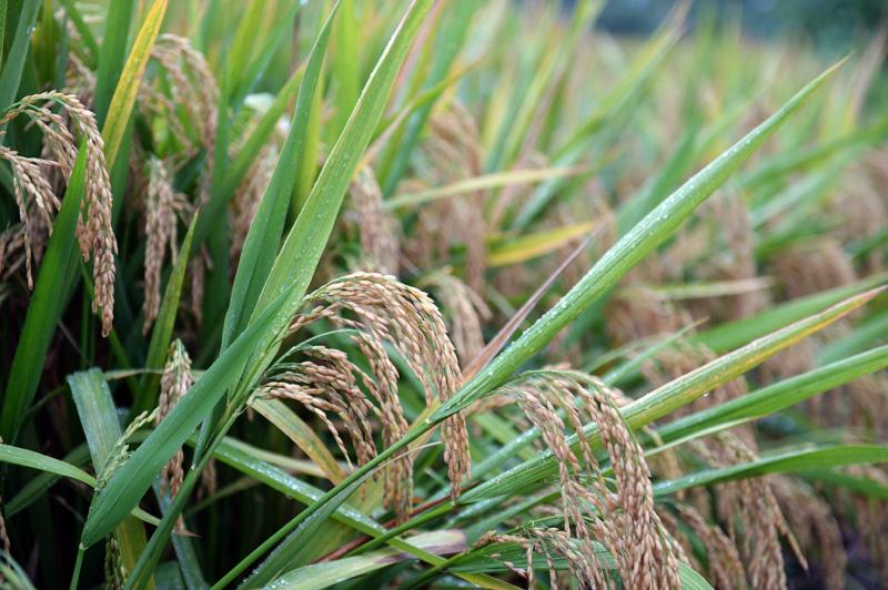 1603.9公斤!袁隆平團隊研發的雜交水稻雙季畝產刷新紀錄